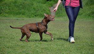 training-your-pitbull
